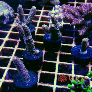 Acropora Sp Purple White Green Polyps L