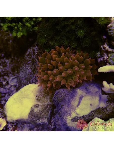 Rhodactis Bi Color L