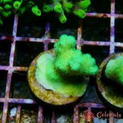 Poccilopora Elegans Purple M Rar Fiji RAR