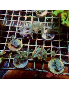 Clavurlaria viridis Ultra M