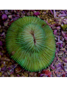 Fungia Metalic L