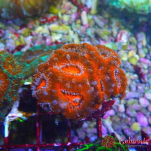 Acanthastrea Candy Dream M