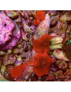 Discosoma Red Cluster per Head