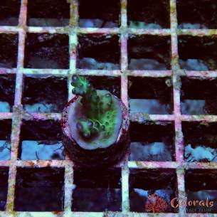 Acropora Sp Multy S
