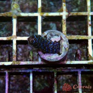 Acropora Milleopora Blue Palmers S