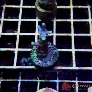 Acropora SP Paniculata S