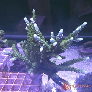 Acropora Multycolor L