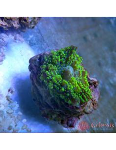 Rhodactis Bubble M