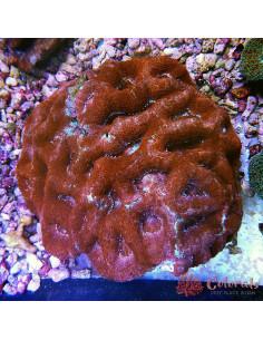 Acanthastrea Multycolor XXL