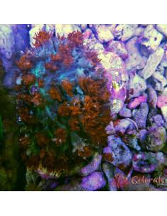 Rhodactis osculifera St. Thomas Superman RAR M