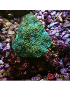 Acropora Sp Multycolor M