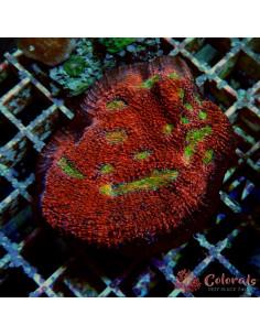 Echinophyllia Sp Multy M