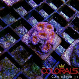 Trachyphyllia Multicolor A Grade L