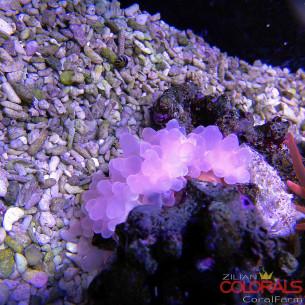 Entacmaea quadricolor Pink L