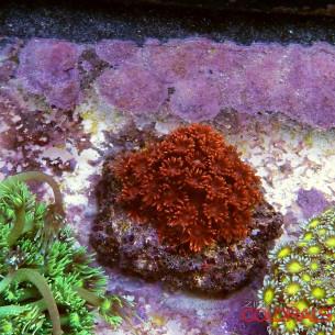 Goniopora SP Red -Orange M