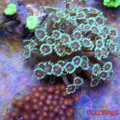 Goniopora Metalic Purple Eyes XL
