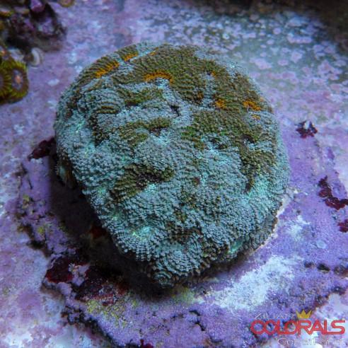 Acanthastrea Echinata Multycolor  L