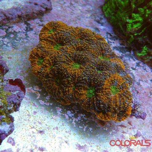 Acanthastrea Echinata Multycolor M
