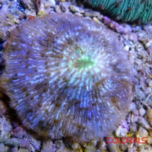 Fungia Bicolor M