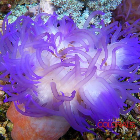 Macrodactyla doreensis Ultra Color...