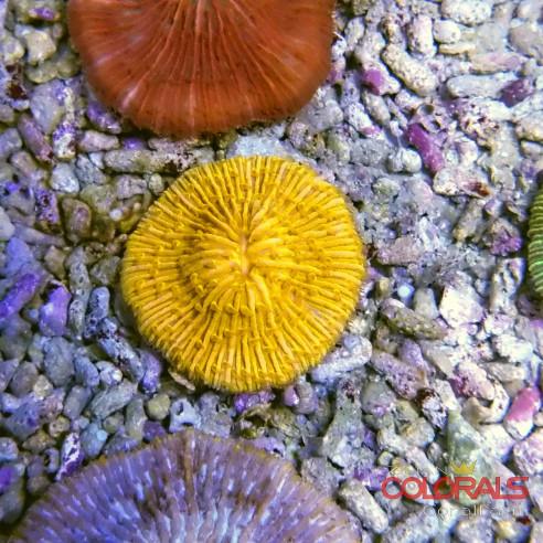 Fungia sp Orange Master M