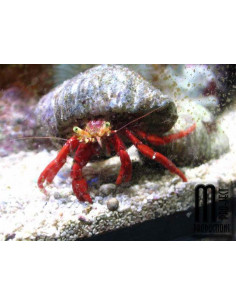 Calcinus sp red