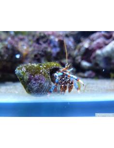 Clibanarius tricolor M