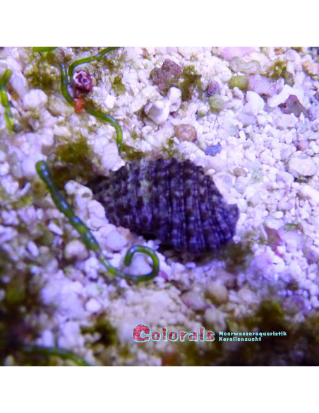 Cerithium echinatum Cyanofresser