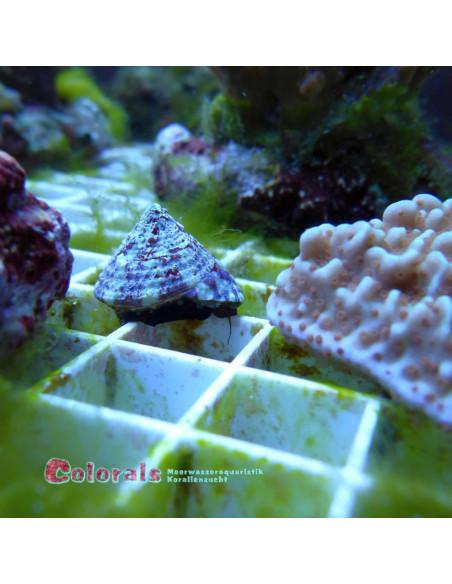 Trochus/tectus snail