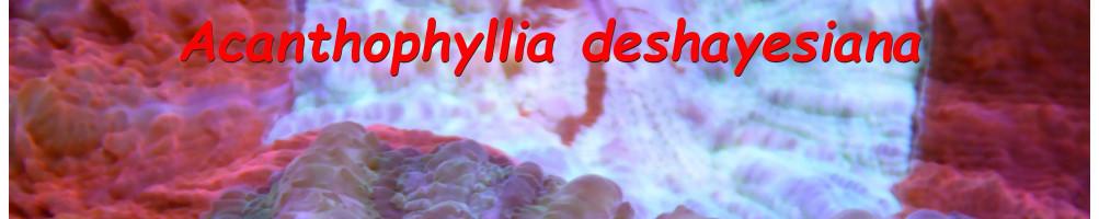 Acanthophyllia´s & Cynaria